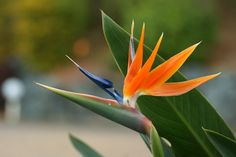 Crane-Flower / Bird-of-Paradise: [Strelitzia reginae; Family: Strelitziaceae]; by Kezfoto