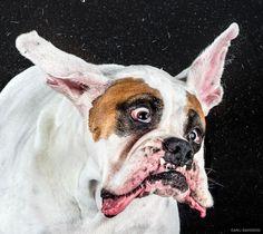 © Carli Davidson Fotos de alta velocidad de perros mojados sacudiendo sus cabezas