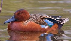 Cinnamon Teal (Anas cyanoptera) Native to South America and western North America. (Wikipedia)