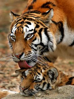 Beautiful photograph of a Tigress and her adorable cute wee Tiger cub🐯 Big Cats, Cool Cats, Cats And Kittens, Beautiful Cats, Animals Beautiful, Cute Baby Animals, Animals And Pets, Jaguar, Majestic Animals