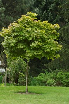 Kugelahorn (Acer platanoides 'Globosum')    Wasserbedarf: gut entwässerter bis feuchter Boden Lichtbedarf: Volle Sonne Größe und Höhe: bis 16 Meter hoch und 13 Meter breit Laub von Frühjahr bis Herbst Pflanzzeit: Jederzeit