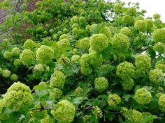 Viburnum opolus 'Roseum'  Labdarózsa  3-4 m-re növő, lombhullató cserje. Virágai csak meddő virágokból álló, kezdetben zöldesfehér, majd hófehér, gömb alakú virágzatot alkotnak. Termést nem hoz. Minden üde, humuszos, kerti talajban megél. Igen kedvelt díszcserje.