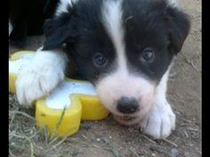 ▶ Cachorros Border Collie | Cachorros Border Collie Eire y su Hermana - YouTube