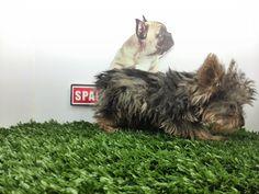 Compra venta de cachorros perros de raza Yorkshire miniatura hembras y machos Spaceanimals.com.mx pedigree azul¡Ahorros hasta del 50%! de Descuento y 12 Meses Sin Intereses paga seguro con Pay Pal ,Ventas por Teléfono: (01)(229) 2.60.31.86 / (01229) 3.06.02.03 / ID Nextel 42*15*597183 Móvil 22.99.60.60.77 / 22.92.91.20.91 WhatsApp Si estás en el extranjero llámanos al +52 229 260 3186 Encuentra las Mejores Razas en www.VentadeCachorrosPerros.com¡Compra Ahora!