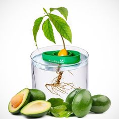 """AvoSeedo is a small plastic bowl that features an indentation with a hole in it. A single avocado seed can be inserted with the """"flat"""" end facing down. Afterwards, AvoSeedo can be placed in a sufficiently large, water-filled pot. Due to its low weight and high displacement, AvoSeedo will remain at the surface all the time; as the water level lowers, AvoSeedo will sink accordingly. With AvoSeedo, you can significantly raise the success rate when it comes to avocado germination. Without any…"""