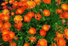 Growing Annuals for Spring Bloom With Heirloom Seeds Calendula, Palmers Garden Centre, Top 10 Home Remedies, How To Lighten Hair, Annual Flowers, Spring Blooms, Medicinal Herbs, Marigold, Flower Making