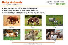Víte, jak se v angličtině nazývají mláďata zvířat? Baby Sheep, Baby Cows, Baby Horses, Baby Elephant, Baby Animals, Calves, Puppies, Dogs, Elephant Baby