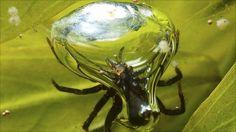 Você conhece alguma aranha mergulhadora, que passa a maior parte do tempo debaixo d'água? A incrível aranha-de-água (Argyroneta aquática) só precisa vir a superfície para pegar ar uma vez por dia.  Elas vivem em lagos, lagoas e córregos lentos em toda a Europa e norte da Ásia. São as únicas aranhas que vivem suas vidas inteiras na água, acasalando, pondo ovos e capturando presas em suas teias de seda, construídas entre a vegetação sob a superfície da água. http://hypescience.com