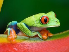 Red Eye Tree Frog...fits me perfect. I have a frog tattoo. I will have to pin that