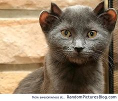 Yoda, the four eared cat from Chicago.