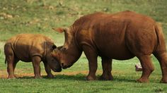"""""""South Africa needs to send a clear message that we care about the animals that share our land for their own sake, not simply for the pursuit of profit,"""" writes Professor David Bilchitz. Photo by Steve Evans via Wikimedia Commons Rhino Species, African Rhino, Rhino Poaching, Baby Rhino, Rhinoceros, Prehistoric, Pet Care, Conservation, Mammals"""