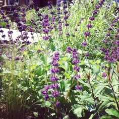 a drifty, dreamy combination of Agastache , Phlox, Stipa tennuisima and miscanthus.