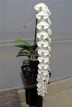 Orchidaceae, Dream Garden, Pretty Flowers, Planting Flowers, Bloom, Ceiling Lights, Plants, Design, Modern