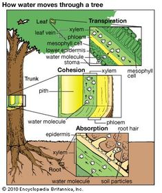 biology plants Art:Water is absorbed by root hairs and passes through several layers to the xylem. It them moves upward to the stems and leaves, where it e. Biology Lessons, Science Biology, Teaching Biology, Science Lessons, Science For Kids, Life Science, Science And Nature, Biology Art, Biology Teacher
