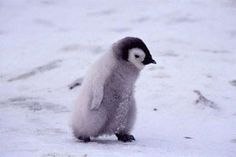 """How to say """" Penguins are flightless birds and they live in . Cute Baby Penguin, Penguin Love, Cute Penguins, Cute Baby Animals, Animals And Pets, Funny Animals, Penguin Craft, Penguin Animals, Penguin Pictures"""