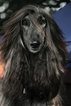 Afghan Hound, I raised these in the 70's