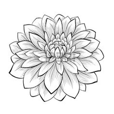 beautiful monochrome black and white dahlia flower isolated on white background. Hand-drawn contour lines and strokes.