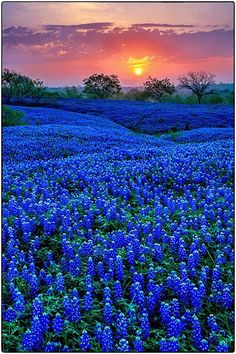 Sunset at the Blue Bonnet Field, Ellis County, Texas, USA