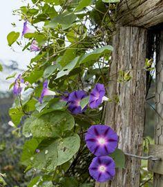 'Heavenly Blue' morning glories frame the garden's entrance.