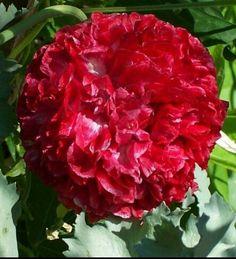 PlantFiles Pictures: Papaver, Opium Poppy, Paeony Flowered Poppy, Peony Poppy 'Flemish Antique' (Papaver somniferum) by Plant Identification, Peonies Garden, Tomato Garden, Large Plants, Shrubs, Flower Power, Perennials, Poppies, Beautiful Flowers