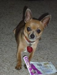 Rambo is an adoptable Chihuahua Dog in Plano, TX. Rambo is a 2 1/2 year old Chihuahua. He is so cute and lovable. He weighs 6 1/2 lbs. Texas Little Cuties (TLC) Rescue, Plano, TX