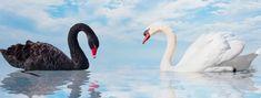 Os seres humanos interagem com estas graciosas aves com bastante frequência. Best Farm Dogs, Black Swan Event, Friendship And Dating, Some Love Quotes, Best Beard Oil, Free Facebook Likes, Tv Set Design, Social Media Impact, Hollywood Couples