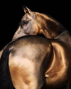 Golden Akhal-Teke by Artur Baboev  (Source: theleoisallinthemind, via Thousand Kisses Deep)