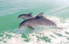 Dolphins at Sanibel Island, Florida