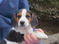 Beagle Mix Puppy For Sale In Pine Grove Pa Adn 71664 On