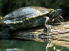 359 Best Pet Turtle Habitats Ideas Dyi S Pics Images