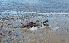 While walking along the beach one day, an England man stumbled across a strange sight: the carcass of a mermaid. Mermaid Found On Beach, Fairy Tales, Mystery, Photos, Creatures, Guys, Water, Outdoor, Image
