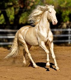 #horses Lusitano stallion. He is a cremello and his name is Caetano TH.