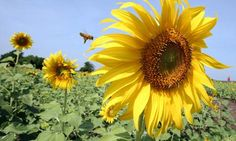 THE GUARDIAN - EU proposes to ban insecticides linked to bee decline!
