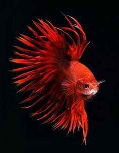 Red Betta fish. photo: Visarute Angkatavanich.