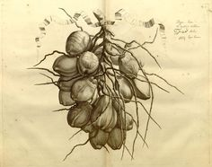 Van Rheede 1678-1679 - Hortus Indicus Malabaricus : - Biodiversity Heritage Library