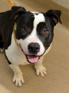 Meet Froggy, a Petfinder adoptable Pit Bull Terrier Dog | Palm Springs, CA | Petfinder.com is the world's largest database of adoptable pets and pet care information....