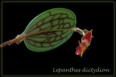 Lepanthes dictydion | by je@n m@rc Beautiful Roses, Shiva, Warm, Mini, Flowers, Royal Icing Flowers, Flower, Florals, Lord Shiva