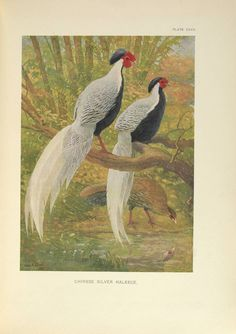 Plate included as part of an illustrated study of pheasants in eastern Asia conducted for the New York Zoological Society. Painted by C. R. Knight,  Image number:39088008144842_0131