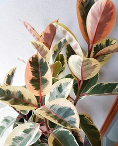 Name: Ficus elastica 'variegata' ⠀ Artist: Mother Nature 🌸🌍⠀ .⠀ Also known as the rubber plant -- each leaf looks like it was individually…