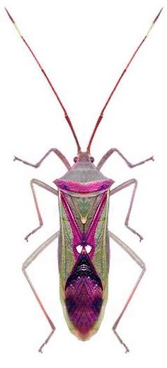 Homoeocerus sp.- ISN'T HE GORGEOUS!! (Looks as though he has been coloured in!!) ⭕️
