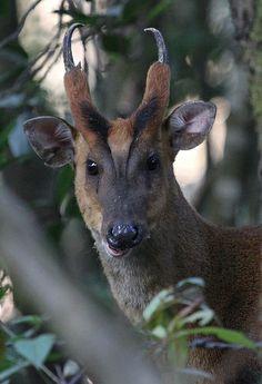 Muntjac Deer (Muntiacus reevesi) Nature Animals, Animals And Pets, Cute Animals, Water Deer, Deer Species, Deer Pictures, Unusual Animals, Creature Design, Elk