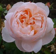 Ambridge Rose - Good all-round garden rose. It flowers freely, continuously and has a neat bushy growth. The flowers are of medium size, being deep apricot-pink at the centre, paling to the outer edges of the flower. 75cm x 75cm.