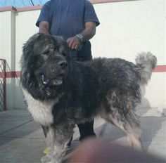 Caucasian Shepherd or Caucasian Ovcharka is the most brutal Russian dog breed. It is a large, even-tempered dog with a Russian Dog Breeds, Russian Dogs, Caucasian Shepherd Dog, Shepherd Dogs, Mountain Dogs, Big Mountain, Types Of Dogs, Puppy Pictures, Small Dogs