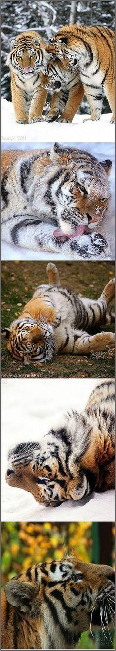 AMAZING AMUR TIGER Photos by Sagittor Photography on DeviantArt #wildlife wildness animal pet nature winter
