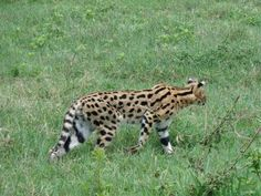 Serval Cat at Ngorongoro Crater Conservation Area, Tanzania