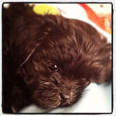 The most precious face ever!! Shih-poos are adorable!!