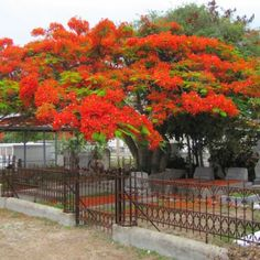 Royal Poinciana tree at Key West Cemetery, my favorite among many other beautiful trees on the island--huge old banyans to puzzle over, frangipanis to draw and paint...coconut palm, avocado, banana, papayas for their fruits...Australian pines for Christmas. How I loved them all !