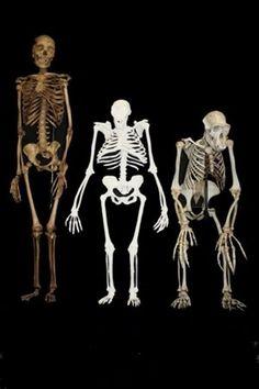 Une comparaison des squelettes d'un homme moderne, de Sediba, et d'un chimpanzé.