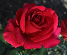 don juan climbing rose | This Grandmother's Garden: A Red Rose for Valentines