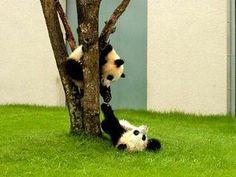 可愛い☆赤ちゃんパンダの画像<双子ぱんだ>